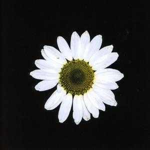 BLACK DAISY WHEEL, BLACK DOG, THE, CD, 0880319909719